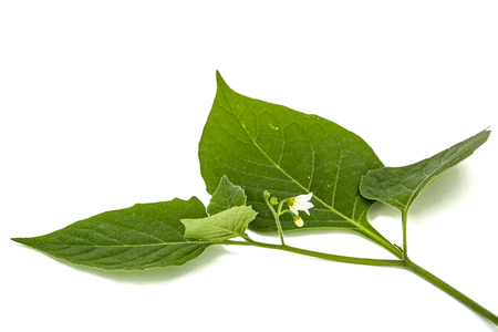 Flowers and leaves of black nightshade, lat. Solanum n�grum, poisonous plant, isolated on white background Stock Photo - 87260403