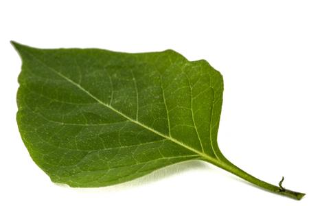 Leaves of black nightshade, lat. Solanum nígrum, poisonous plant, isolated on white background