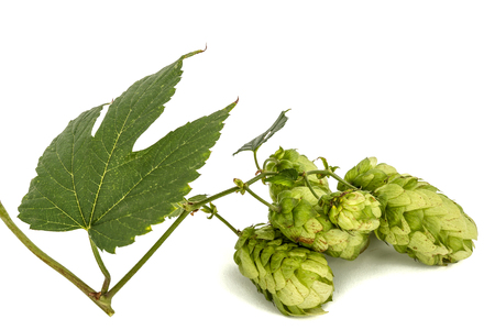 brewery: Cones and leaves of hops, lat. Humulus, isolated on white background