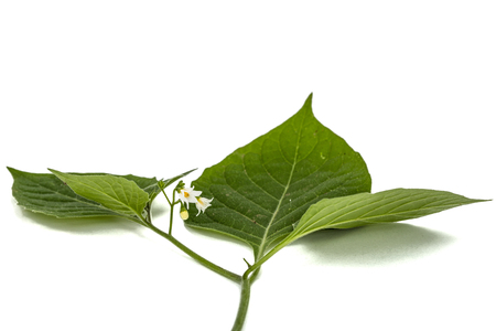 Flowers and leaves of black nightshade, lat. Solanum nígrum, poisonous plant, isolated on white background Stock fotó
