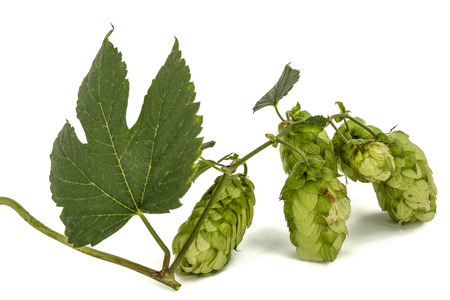 Cones and leaves of hops, lat. Humulus, isolated on white background