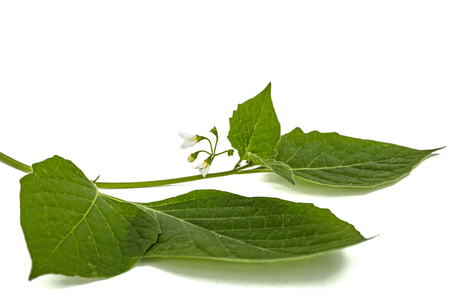 Flowers and leaves of black nightshade, lat. Solanum nígrum, poisonous plant, isolated on white background