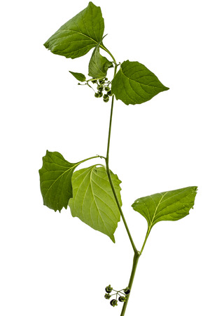 Leaves and berrys of black nightshade, lat. Solanum nígrum, poisonous plant, isolated on white background