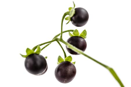 Berry of black nightshade, lat. Solanum nígrum, poisonous plant, isolated on white background