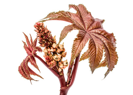 Young shoots of ricinus communis close-up. isolated on white background Stock Photo