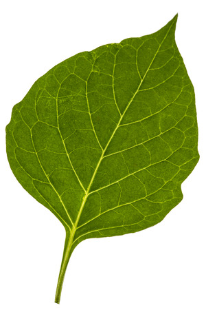 Leaves of black nightshade, lat. Solanum nígrum, poisonous plant, isolated on white background Stock fotó