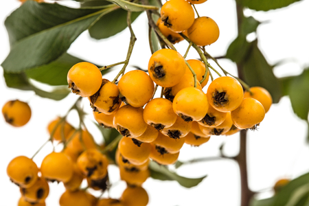 Yellow berries of shrubby pyracanthus, lat. Pyracantha, isolated on white background