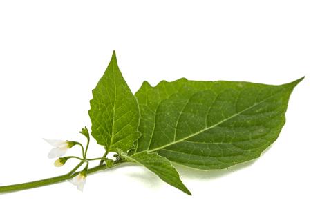 nightshade: Flowers and leaves of black nightshade, lat. Solanum nígrum, poisonous plant, isolated on white background Stock Photo