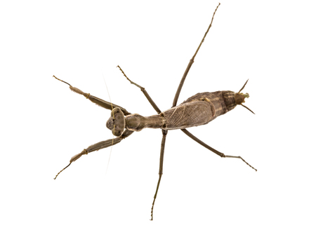 Mantis ordinary or mantis religious, isolated on white background Stock Photo
