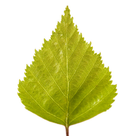 Birch leaf isolated on a white background Stock Photo