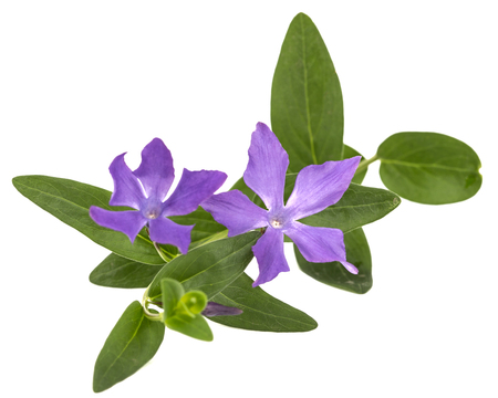 Blue flower of periwinkle, lat. Vinca, isolated on white background Banco de Imagens
