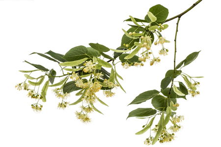 Flowers and leaves of linden, isolated on white background
