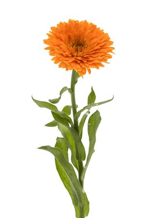 Flower of calendula, isolated on white background