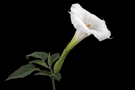 Datura flower, dope, stramonium, thorn-apple, jimsonweed, isolated on black background Imagens