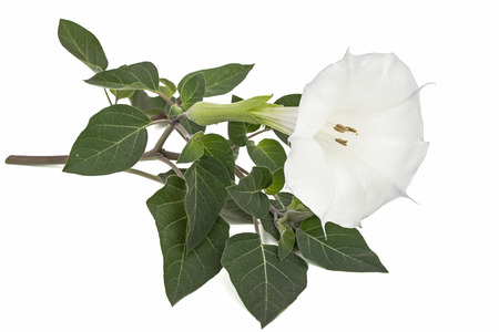 Datura flower, dope, stramonium, thorn-apple, jimsonweed, isolated on white background