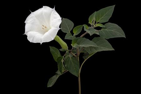 Datura flower, dope, stramonium, thorn-apple, jimsonweed, isolated on black background 스톡 콘텐츠