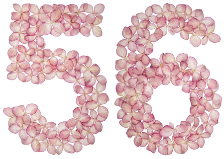 Arabic numeral 56, fifty six, from flowers of hydrangea, isolated on white background