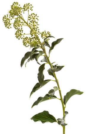 Flowering ivy, branch with inflorescences and green leaves, isolated on white background