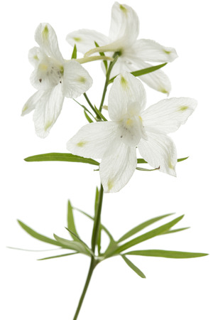White flower of Delphinium, Larkspur flower, isolated on white background Stock Photo