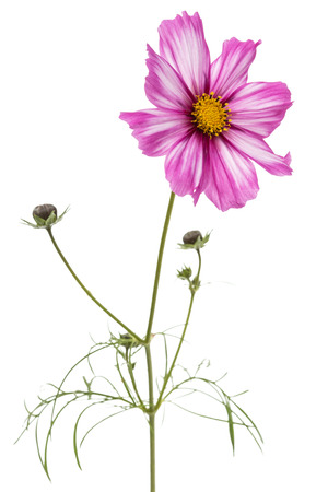 Flower of cosmos, kosmeya flower, isolated on white background
