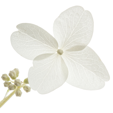Flower of hydrangea closeup, lat. Hydrangea paniculata, isolated on white background
