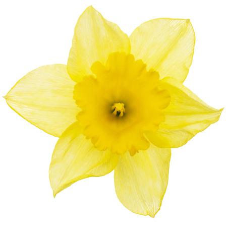 Fiore di narciso giallo (narciso), isolato su sfondo bianco