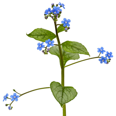 Blue flower of brunnera,  forget-me-not, myosotis, isolated on a white background 写真素材