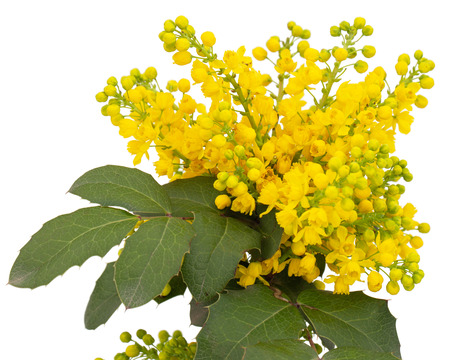 Flowering twig of mahonia, lat. Mahonia aquifolium, evergreen plant, isolated on white background