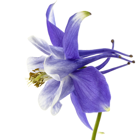 Violet flower of aquilegia, blossom of catchment closeup, isolated on white background Banco de Imagens - 122609003
