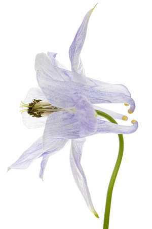 Soft blue flower of aquilegia, blossom of catchment closeup, isolated on white background