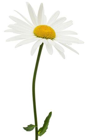 White flower of chamomile, lat. Matricaria, isolated on white background