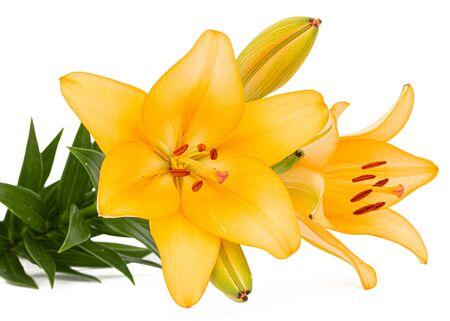 Flor de lirio amarillo, aislado sobre fondo blanco. Foto de archivo