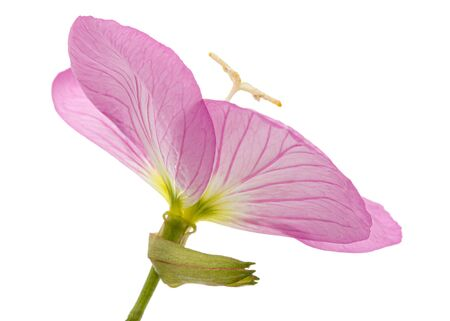 Flower of pink Evening Primrose, lat. Oenothera, isolated on white background