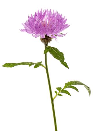 Flower of cornflower, lat. Centaurea, isolated on white background Stock Photo