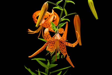 Blooming flower of orange lily, isolated on black background Stok Fotoğraf