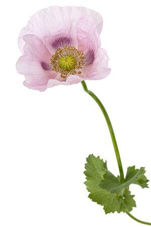 Flower of rose poppy, lat. Papaver, isolated on white background