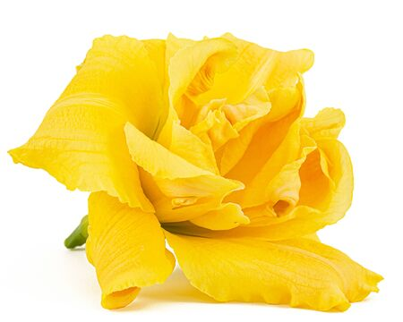 Flower of yellow day-lily, lily flower, isolated on white background Imagens
