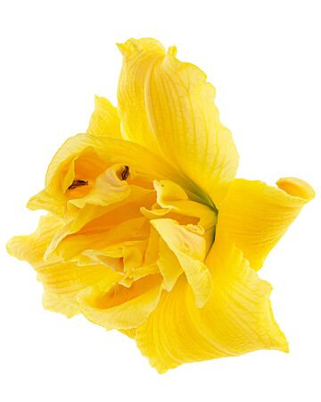 Flower of yellow day-lily, lily flower, isolated on white background Stock Photo