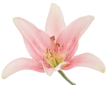 Flower of light pink lily, isolated on white background Stock Photo