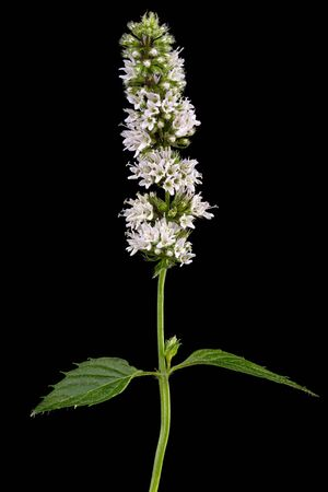 Mint with flowers and leaves,  isolated on black background