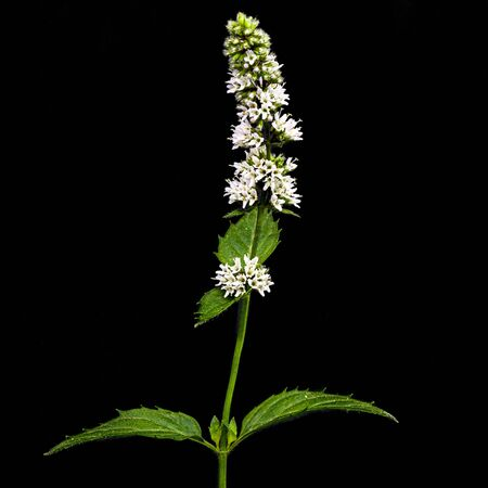 Flowering sprig of mint,  isolated on black background