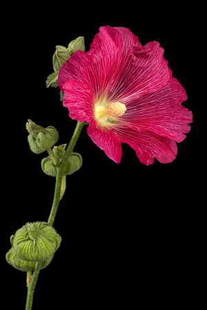 Red flower of mallow, isolated on black background