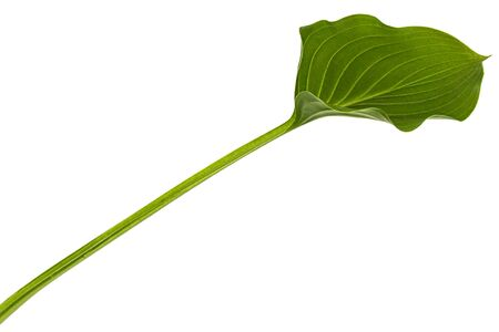Green leaf of Hosta flower, also Funkia, family of Asparagus (lat. Asparagales), on white background