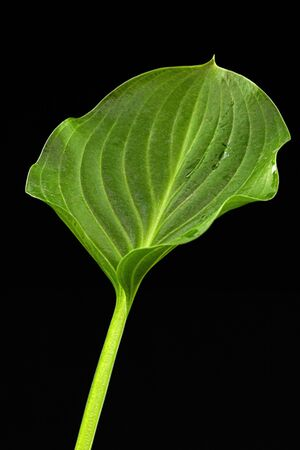 Green leaf of Hosta flower, also Funkia, family of Asparagus (lat. Asparagales), on black background
