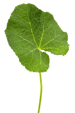 Green leaf of mallow, isolated on white background Stockfoto