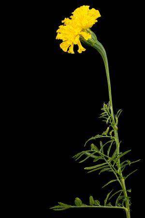 Marigold flowers (lat. Tagetes), isolated on black background