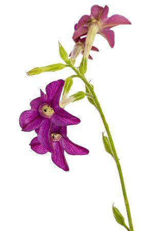 Flower of fragrant tobacco, lat. Nicotiana sanderae, isolated on white background
