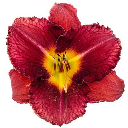 Flor roja de lirio de día, aislado sobre fondo blanco.