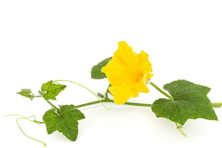 Yellow flower of pumpkin, isolated on white background