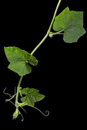 Green foliage of pumpkin, isolated on black background Stock Photo